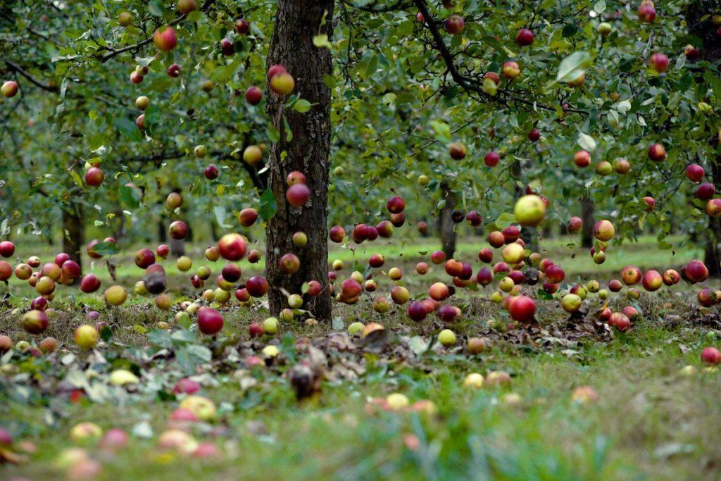Почему не плодоносит яблоня – все возможные причины и советы, что делать