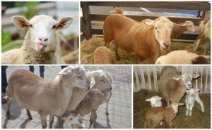 Описание и характеристики овец катумской породы, особенности содержания