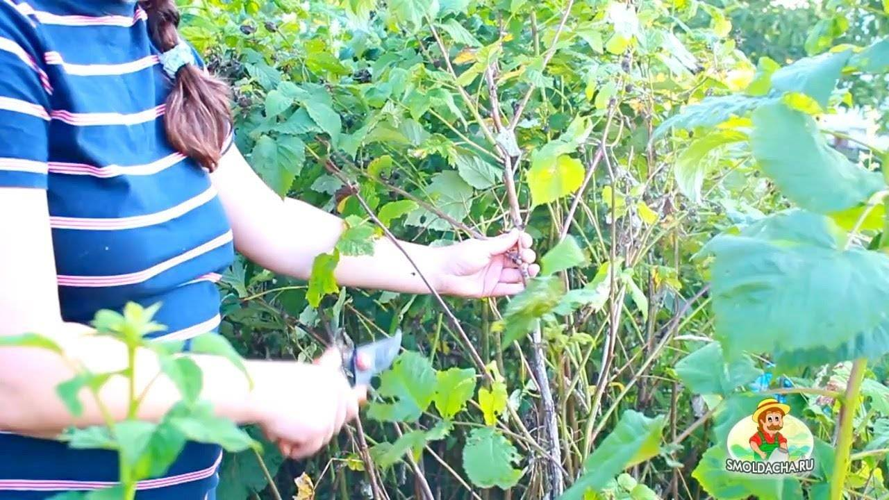 Когда лучше сажать малину весной или осенью (советы опытных садоводов)