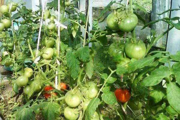 Помидор-малыш для дачников и городских жителей — описание: сорт томатов «невский»