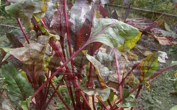 Почему краснеют листья у свеклы: что делать, как бороться