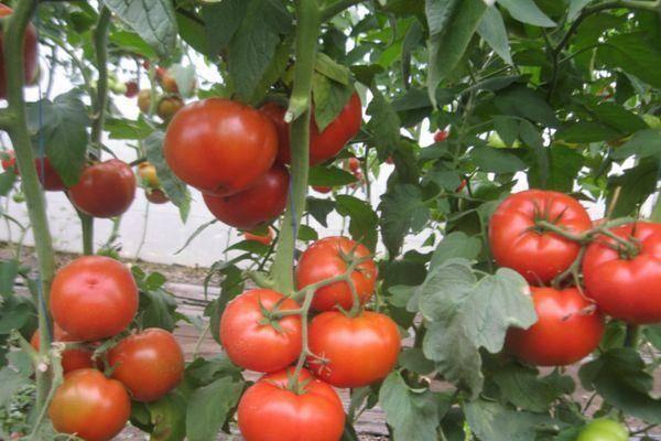 Томат фенда f1 — описание сорта, урожайность, фото и отзывы садоводов