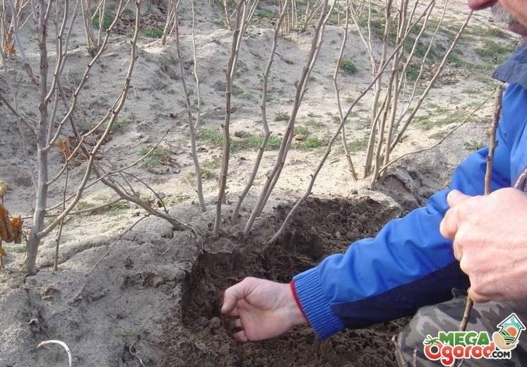 Особенности посадки и выращивания лещины краснолистой