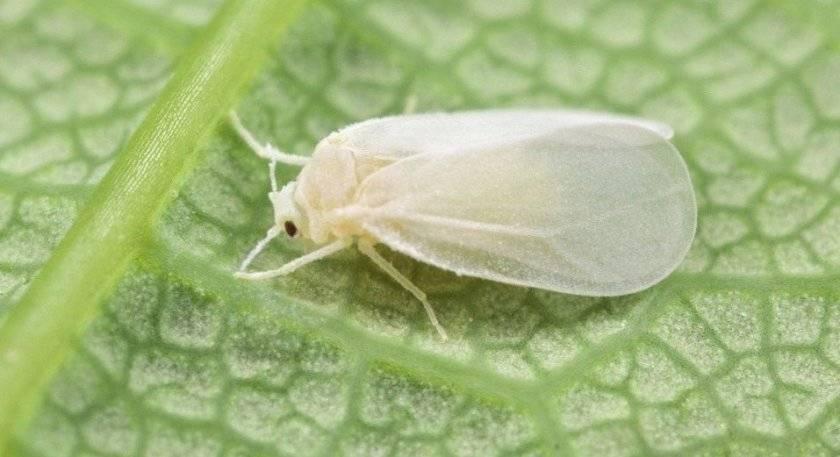 Белые мошки на огурцах: способы борьбы в теплице и открытом грунте