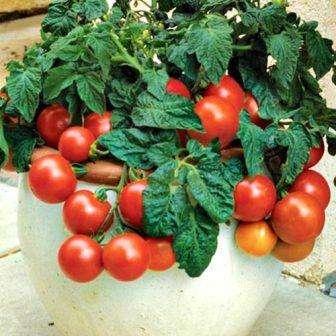 Универсальный скороспелый томат «сливка медовая» порадует садовода отличным урожаем вкусных помидор