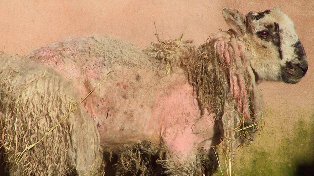 Если вши у коз, коров и овец: алгоритм борьбы