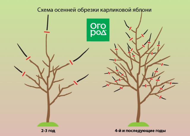 Обрезка яблонь: когда и как правильно делать, схема формирования кроны