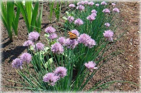 Шнитт-лук: особенности посадки и ухода, способы выращивания