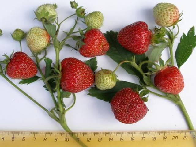 Описание сорта томата Даренка, особенности выращивания и ухода