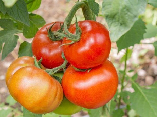 Урожай и размер: сорт томатов бабушкино
