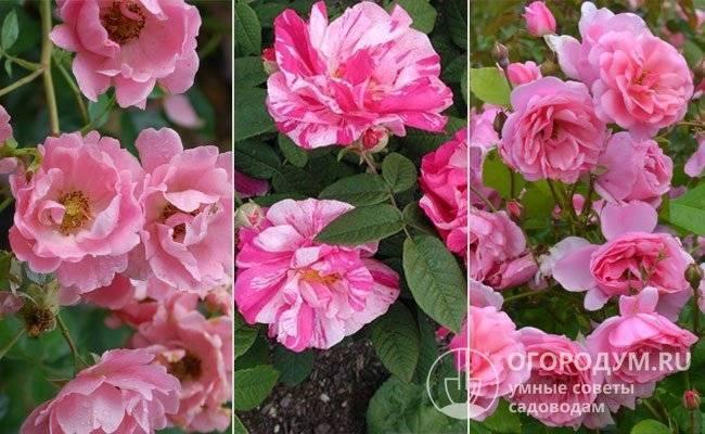 Описание и тонкости выращивания плетистой розы сорта лагуна