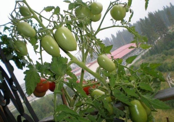 Томат примадонна, отзывы – королева помидор