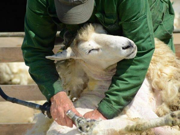 Правила заточки ножей машинки для стрижки овец и сбор станка своими руками