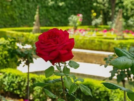 Почвопокровные розы: сорта с описанием и фото