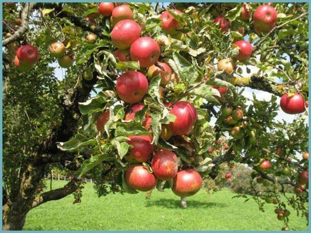 Осенняя яблоня звездочка