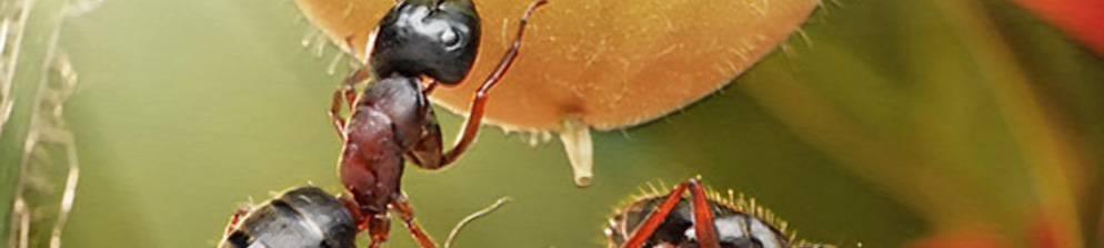 Борьба с муравьями в теплице с огурцами — объясняем все нюансы