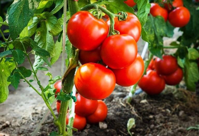 Томат гордость сибири — характеристика и описание сорта