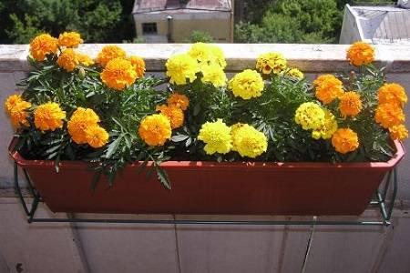 Можно ли выращивать бархатцы в квартире круглый год?