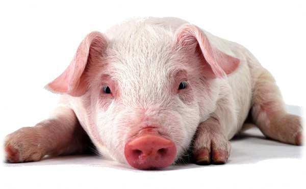 Температура у свиньи: нормальные значения и способы измерения
