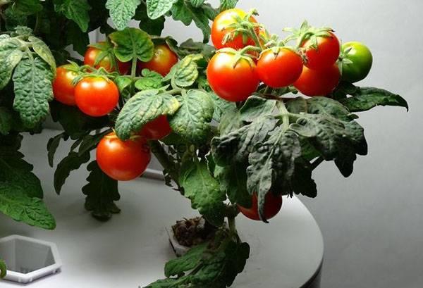 Томаты на подоконнике - сорта, выращивание и уход!