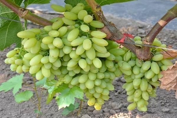 Особенности черного винограда кишмиш аттика