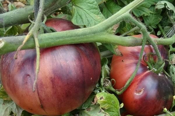 Томат аметистовая драгоценность: отзывы, правила выращивания и ухода