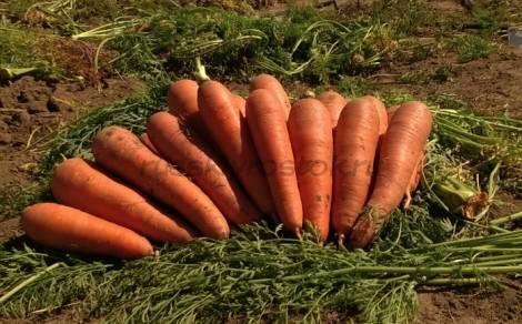 Скороспелые сорта моркови