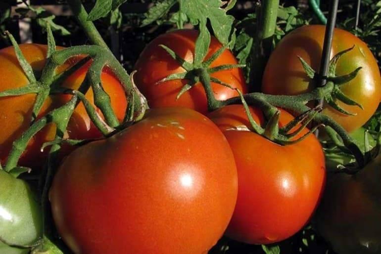 Борная кислота для помидоров – опрыскивание, полив, замачивание семян