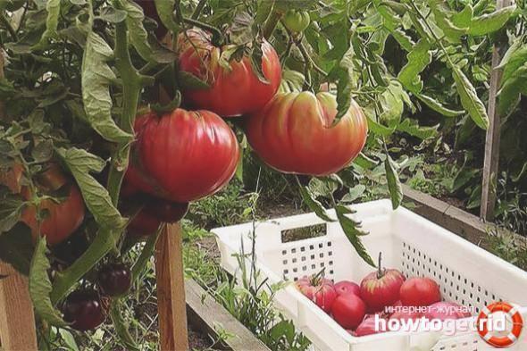 Урожайные и новые сорта помидор сибирской селекции для урала