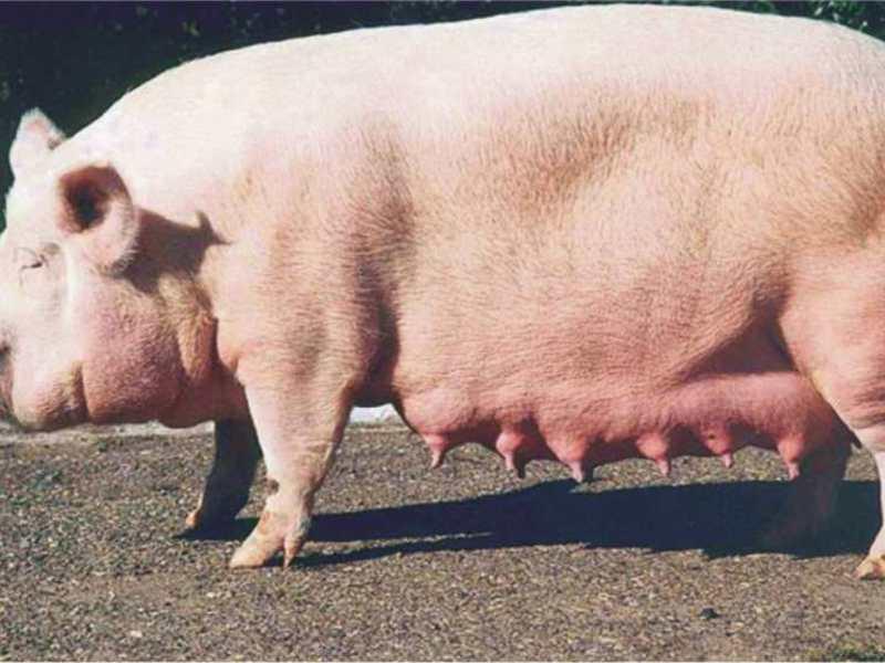 Самые большие свиньи в мире: фото, вес, особенности