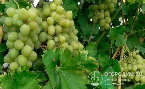 Характеристики и описание сорта винограда «преображение»