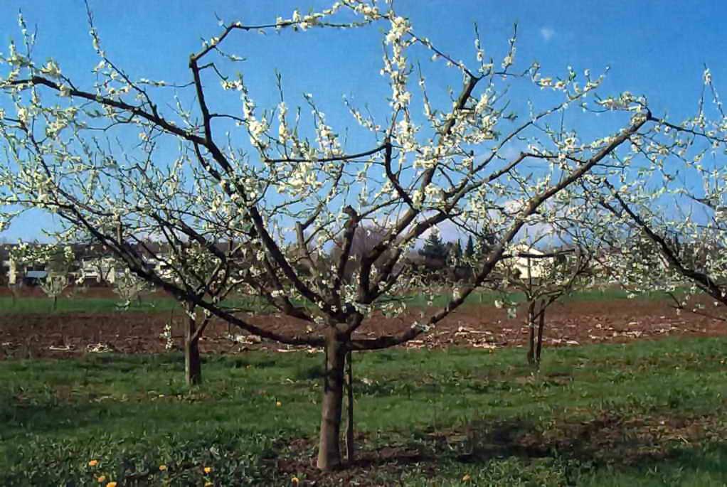 Как выполнить обрезку сливы весной и осенью