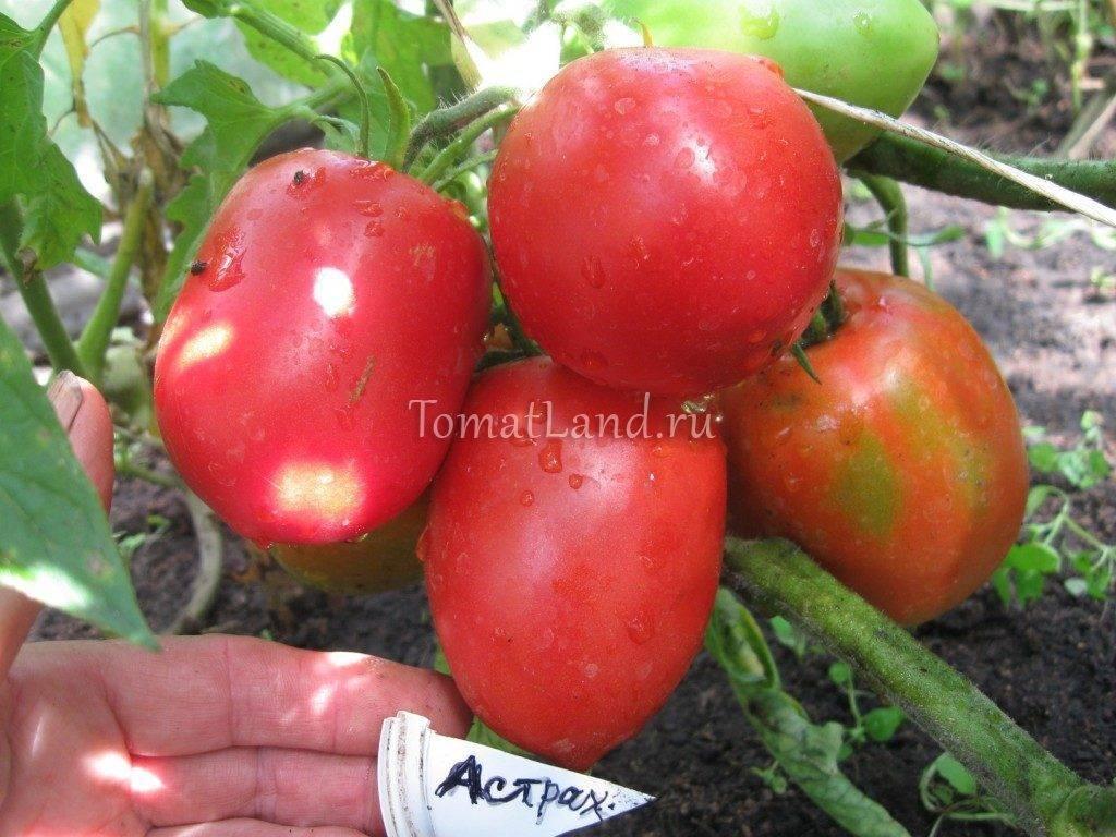 Томат астраханский: 7 особенностей и 12 советов по посадке и выращиванию