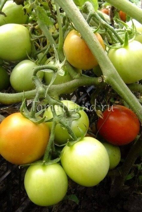 Фото, отзывы, описание, характеристика, урожайность сорта томата «огородник»