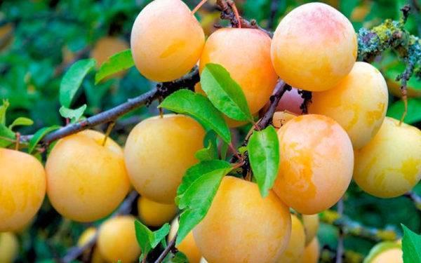 Плодовые культуры для сибири: устойчивые сорта яблони, груши, сливы, вишни