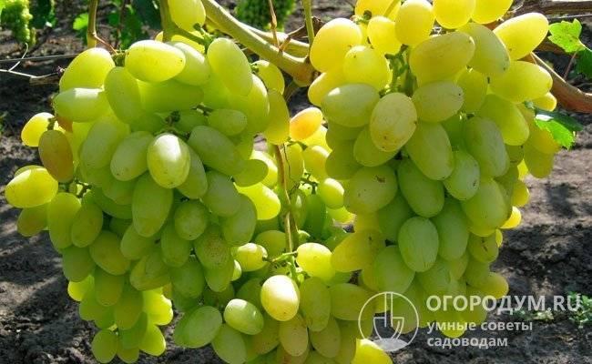 Особенности винограда викинг: непростой характерный сорт для настоящих профессионалов
