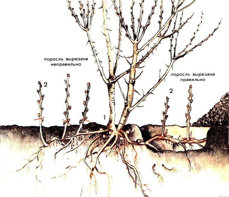 Как избавиться от поросли вишни, и можно ли предотвратить ее появление?