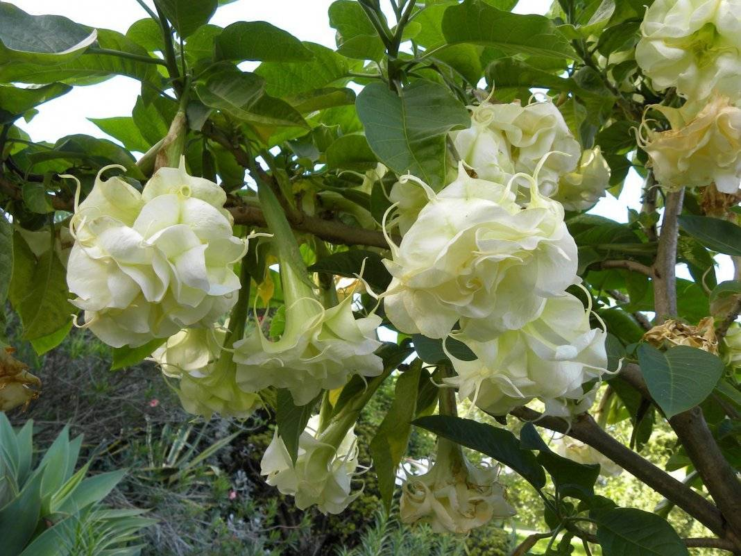 Дурман - фото цветка, посадка и уход, виды, размножение