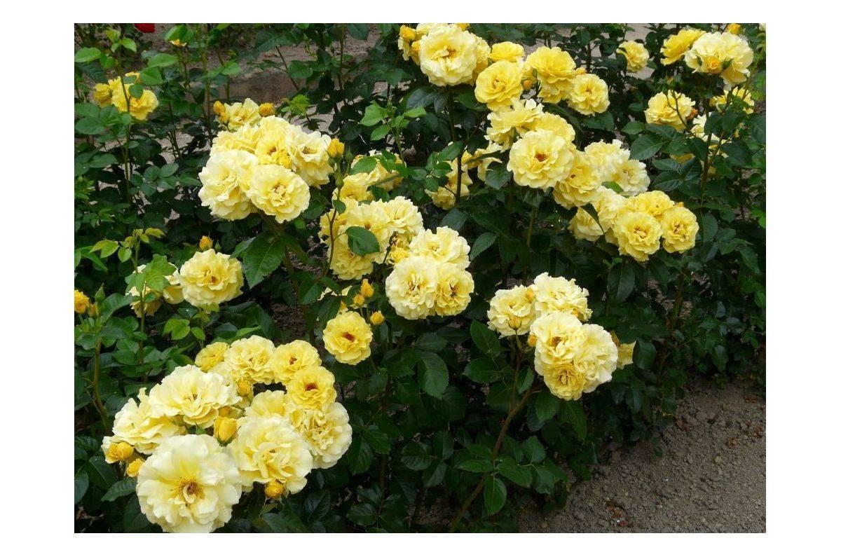 Фрезия: описание и выращивание в саду и дома