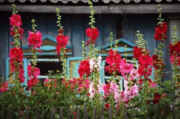 Особенности выращивания шток розы в домашних условиях