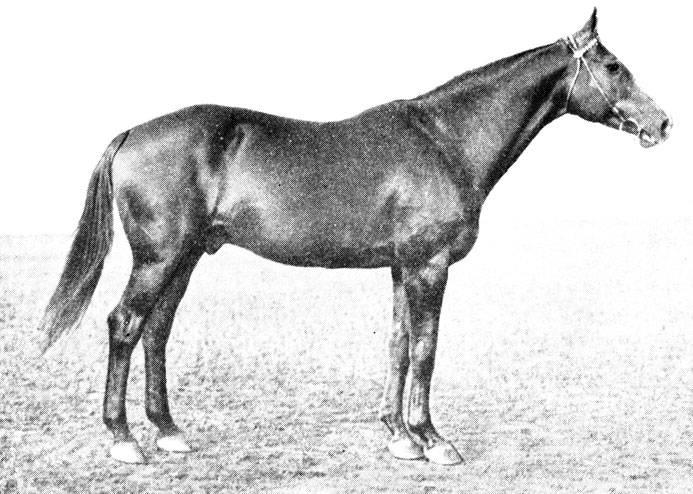 Буденновская порода спортивных лошадей