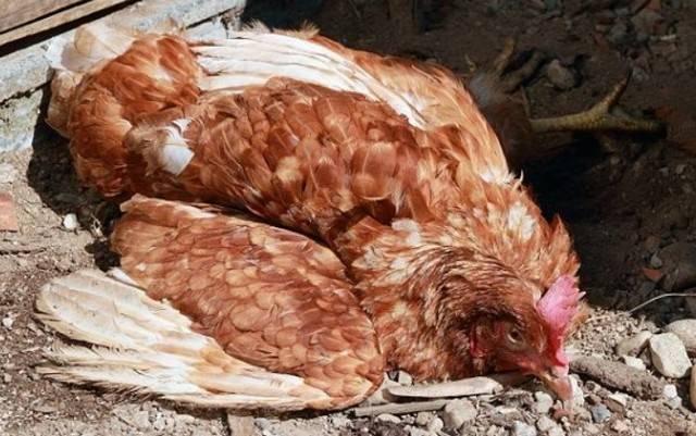 Самые распространенные недуги, от которых умирают куры и цыплята