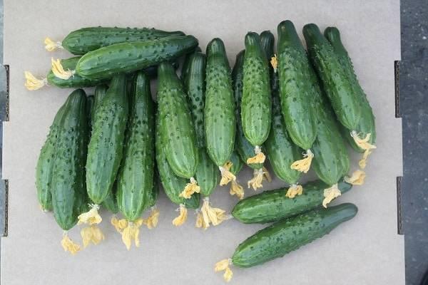 Описание сорта огурцов Атлет, особенности выращивания и ухода