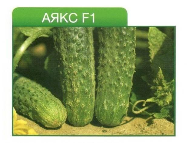 Обзор гибрида огурцов «аякс f1»: особенности, преимущества и недостатки