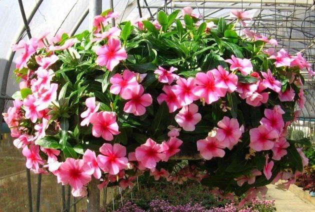 Цветок катаратус в домашних условиях