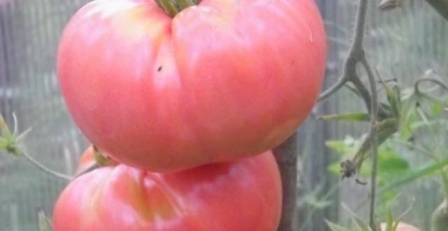 Сорт томата «демидов»: описание, характеристика, посев на рассаду, подкормка, урожайность, фото, видео и самые распространенные болезни томатов