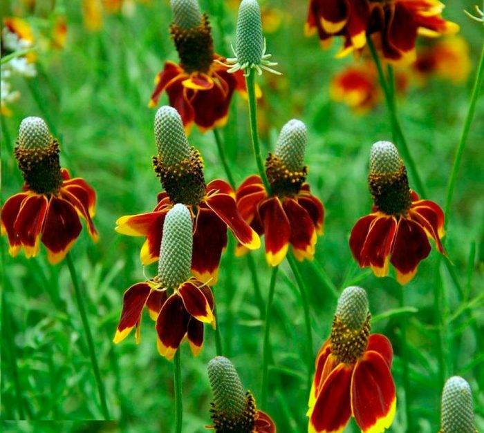 Посадка многолетней рудбекии, уход за цветами