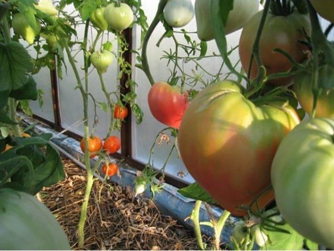 Описание и характеристики сорта томатов биг биф, урожайность выращивание
