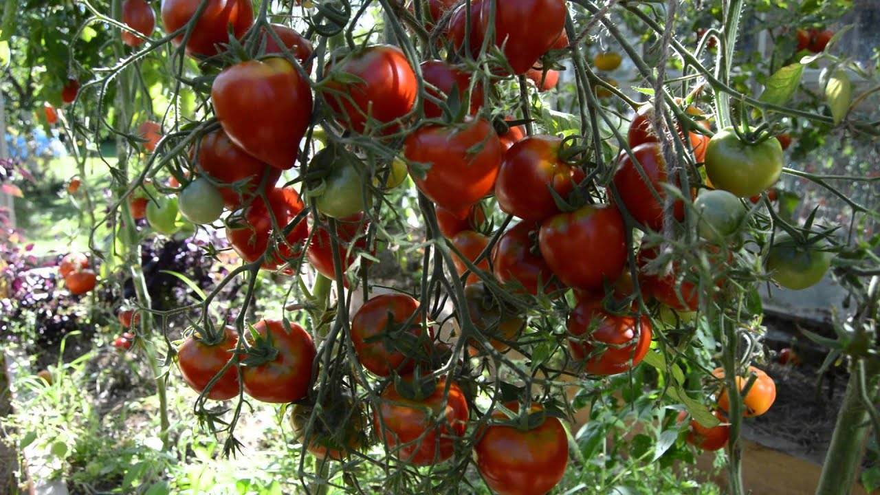Все о томате невском: агротехника, характеристики и описание сорт