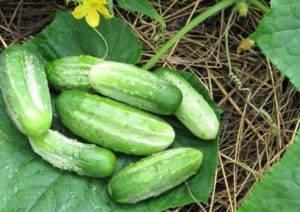 Описание сорта огурцов темп f1 — особенности выращивания и ухода